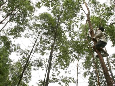 Eukalyptus-Bäume