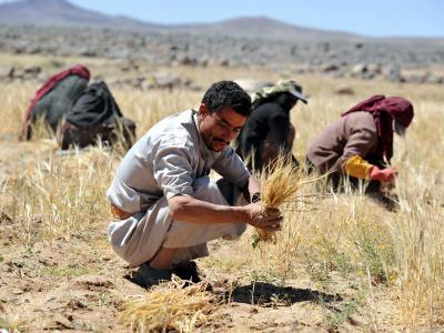Ernte im Jemen:Das Land muss den Großteil seines Getreides importieren. Foto: Yahya Arhab