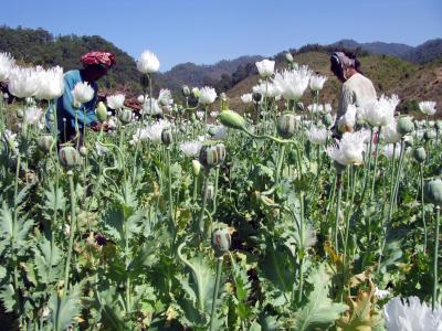 Opium-Feld