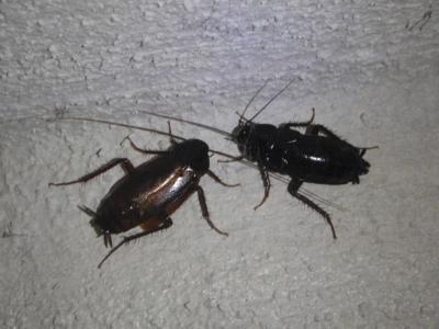 Kakerlaken, auch Küchenschaben genannt, sind Schädlinge, die vor allem in warmen Ländern weit verbreitet sind. Foto: Peter Kneffel/Symbolbild