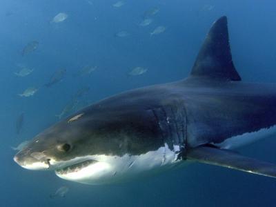 In Australien wird über Sinn und Unsinn der geplanten Jagd auf Haie diskutiert. Foto:Helmut Fohringer