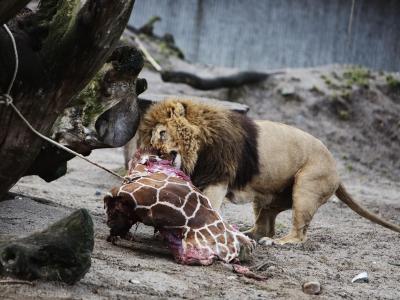Die getötete Giraffe Marius wurde nach einer öffentlichen Obduktion an Löwen verfüttert. Foto: Kasper Palsnov