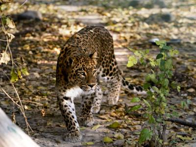 Ein Leopard hält die indische 1,3-Millionen-Stadt Meerut in Atem. Foto:Farooq Khan/Archiv