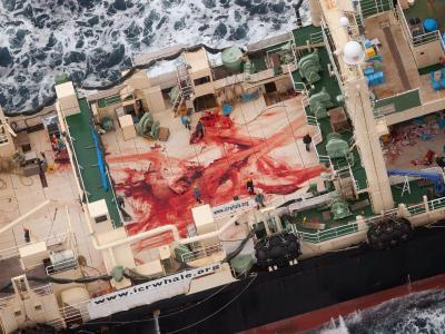Japan beruft sich auf eine Ausnahmeregel, die die Jagd auf Wale für wissenschaftliche Zwecke erlaubt. Foto:Tim Watters / Sea Shepherd Australia