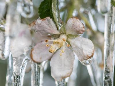 Vereiste Apfelblüten. Foto: Patrick Seeger