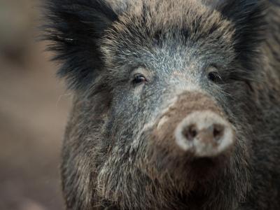 Der Bestand von Wildschweinen soll extrem reduziert werden. Foto: Lino Mirgeler