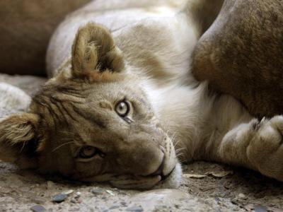 Ein Löwenjunges im Zoo. Foto: Georgios Kefalas/Illustration / Archiv