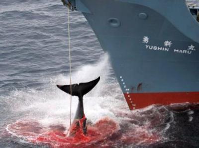27 Länder und Grönland nehmen an der zweitägigen Tagung in Japan teil. Dabei soll es um den weiteren Kurs der Befürworter des Walfangs gehen.